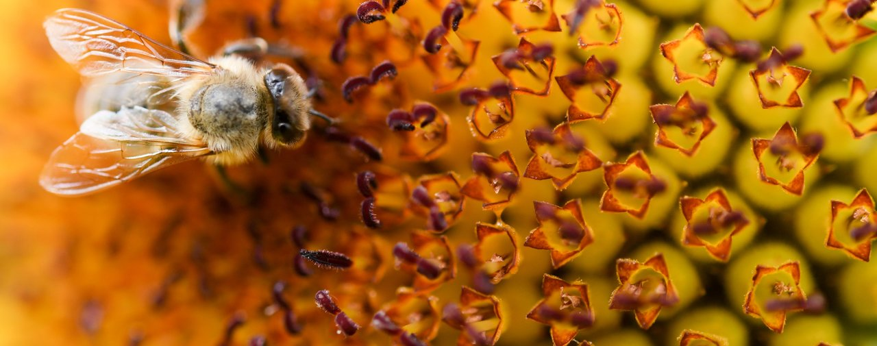 banner-bee-on-sunflower